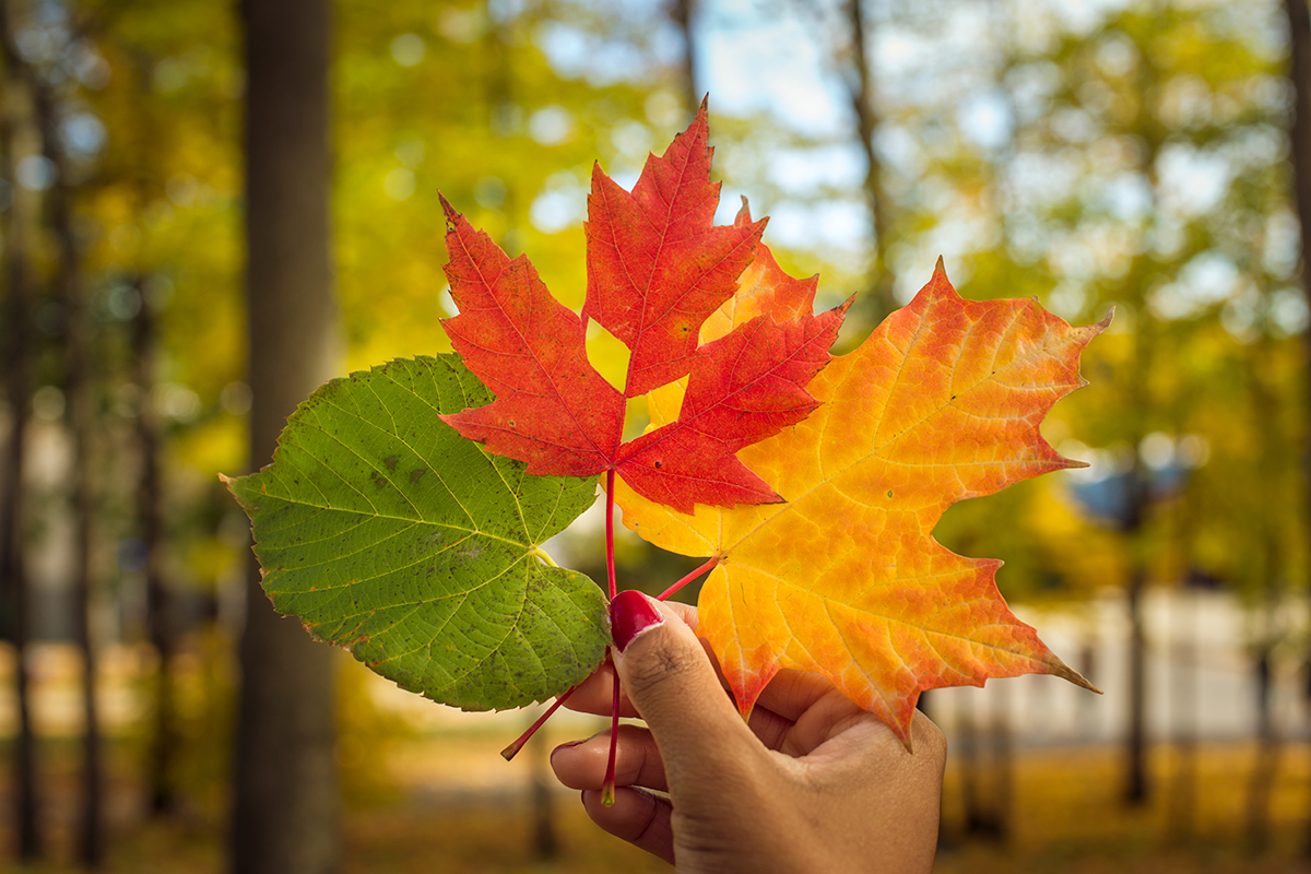 A hand holds three autumn leaves, one has the SUNY Canton leaf and parallelagram cutout.